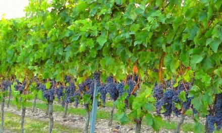 How to Grow Grapes in Florida