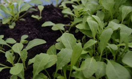 How to Harvest Arugula Seeds