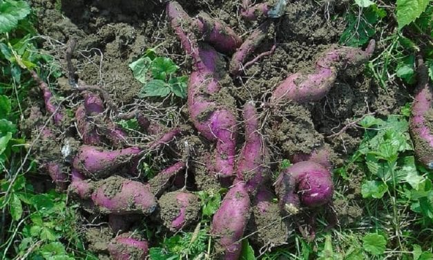 How to Grow Okinawan Sweet Potatoes