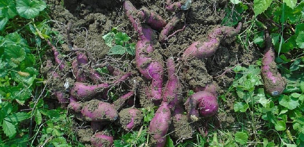 How to Grow Okinawan Sweet Potatoes