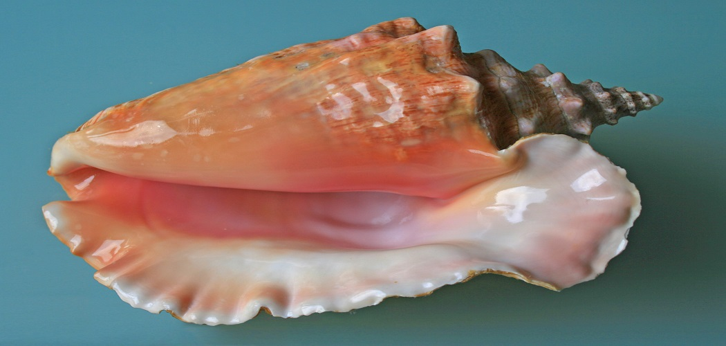 How to Get Conch out of Shell without Breaking-2