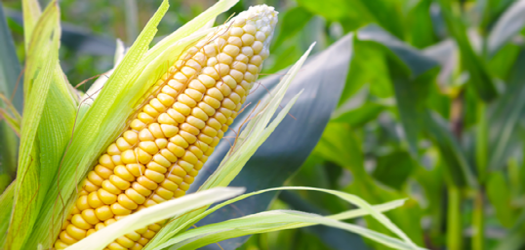 How to Grow Corn in Greenhouse Before 1