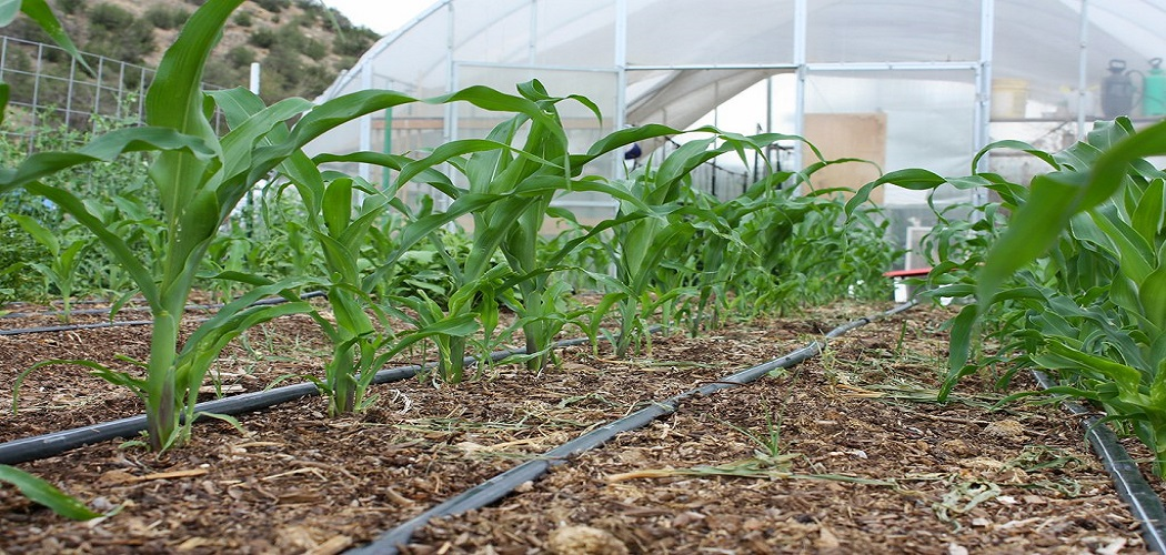 How to Grow Corn in Greenhouse Before