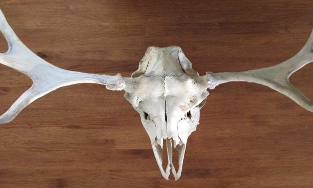 How to Make a Deer Skull White