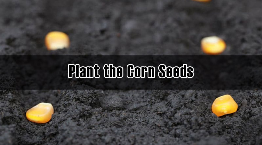 Plant the Corn Seeds