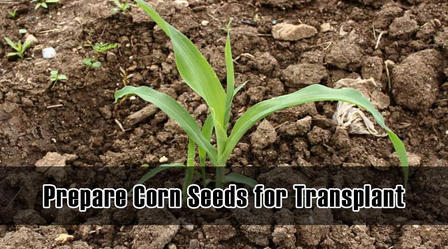 Prepare Corn Seeds for Transplant