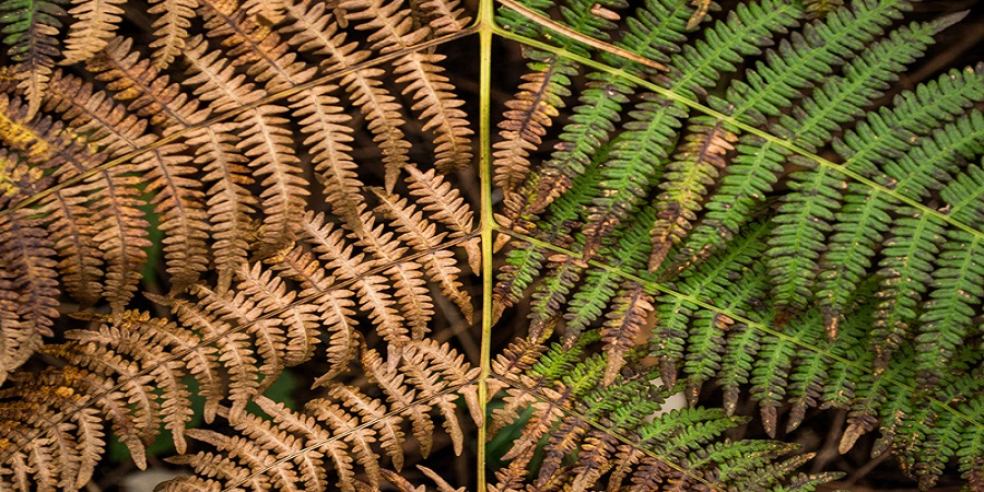 How to Revive a Dying Fern 3