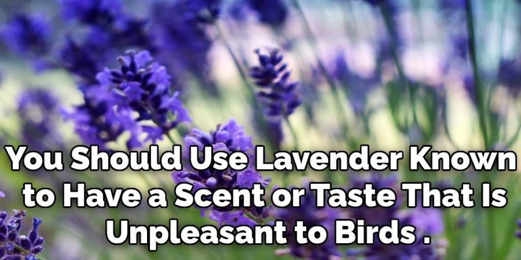 You Should Use Lavender Known  to Have a Scent or Taste That Is  Unpleasant to Birds .