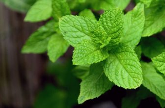 How to Bring a Mint Plant Back to Life