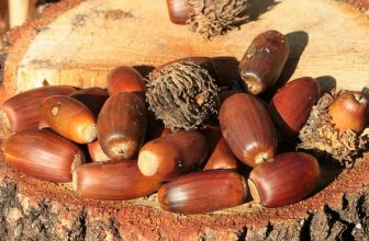 How to Get Acorns Off Your Lawn