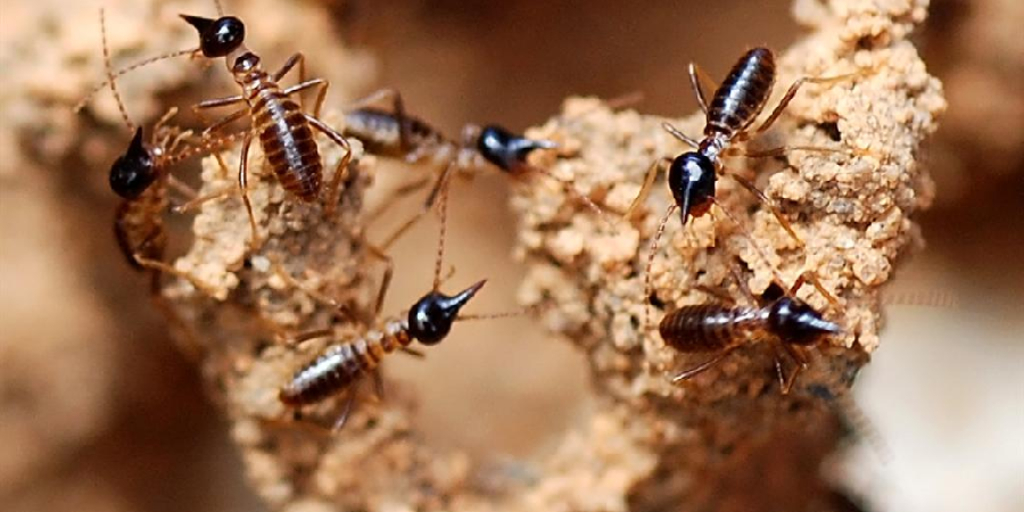 How to Get Rid of Termites in the Lawn