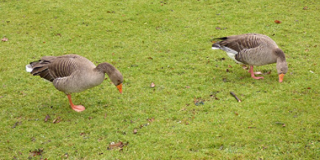 How to Remove Goose Poop From Lawn