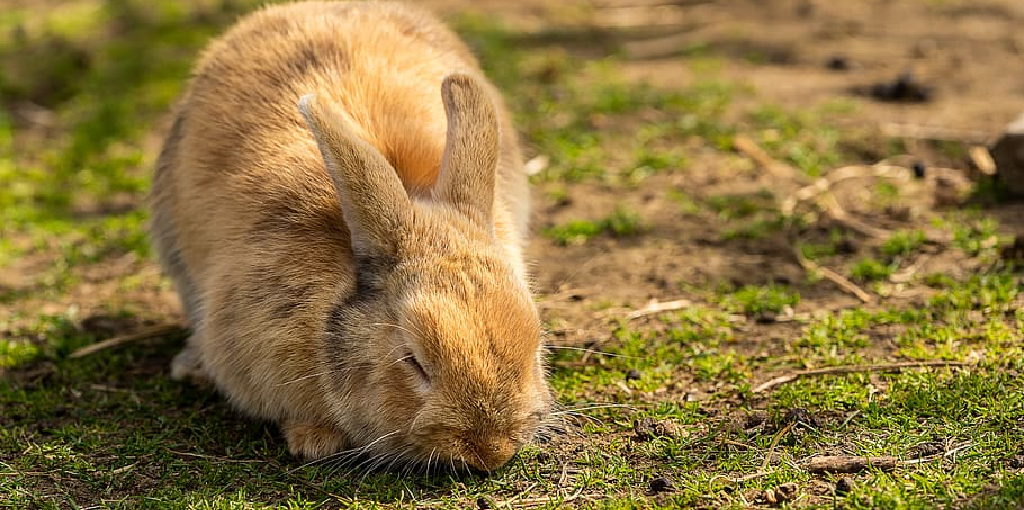 How to Repair Lawn Damaged by Rabbits
