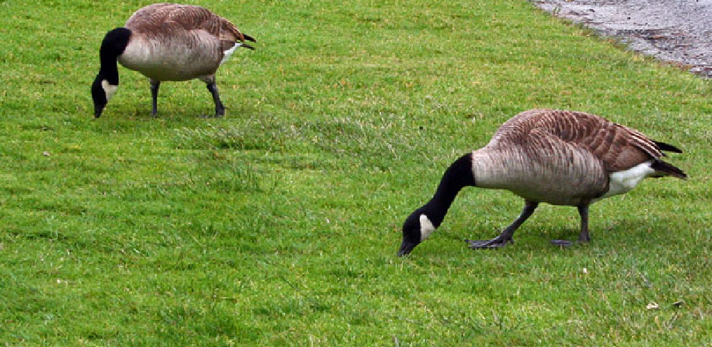 How Do I Keep Geese Off My Lawn