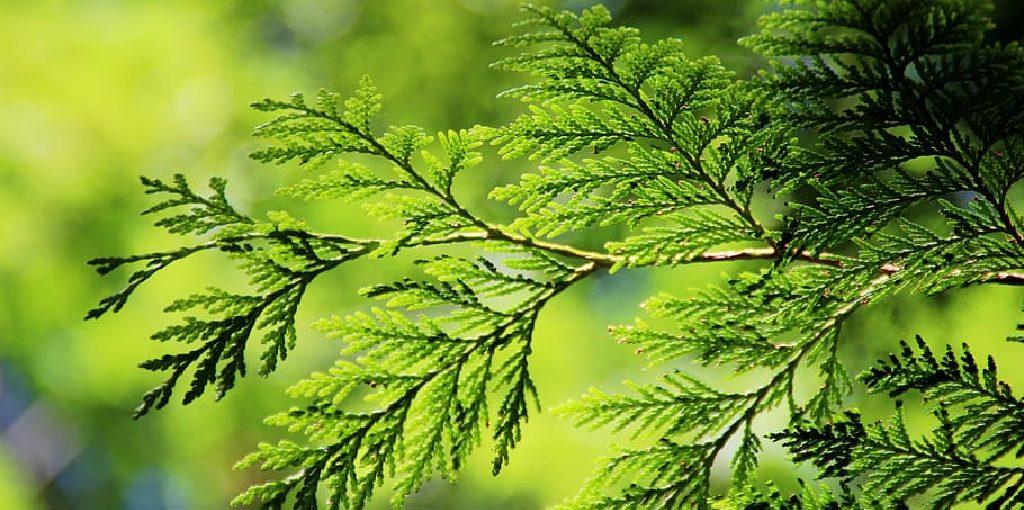 How Far Apart to Plant Arborvitae Green Giant