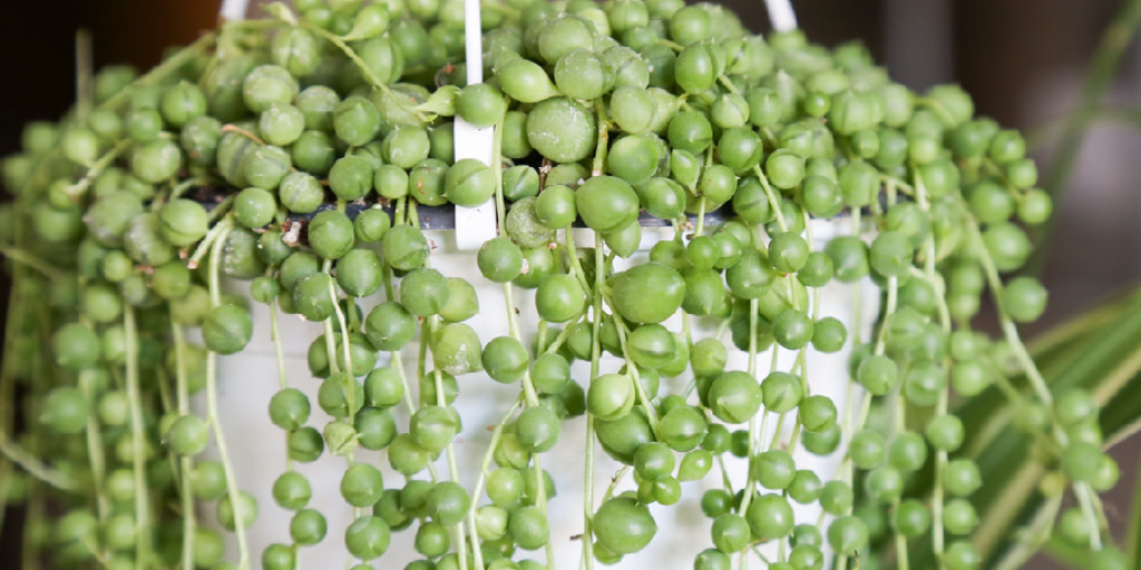 How to Make String of Pearls Fuller