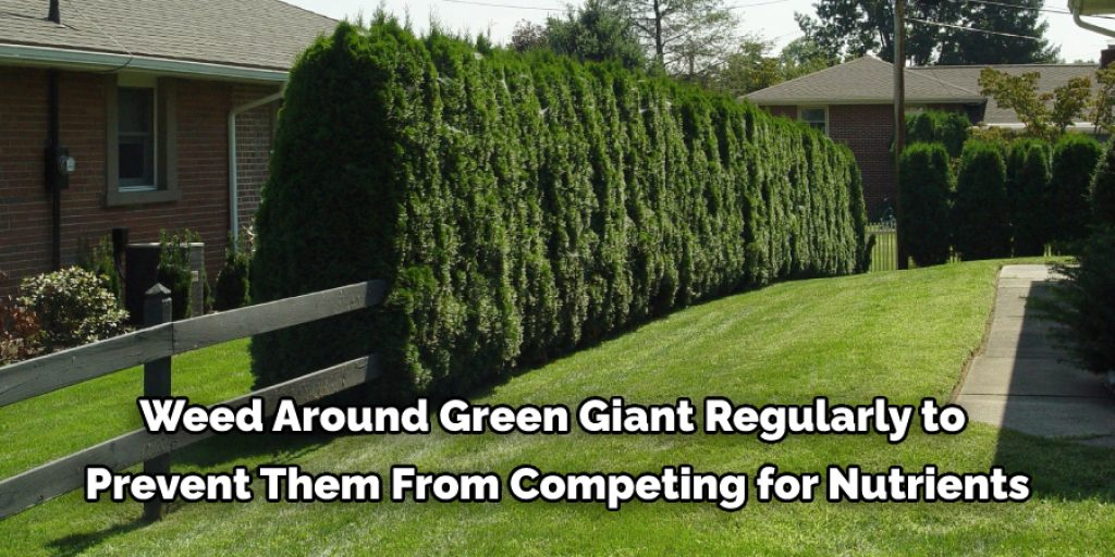 Maintenance and Caring Tips for Arborvitae Green Giant